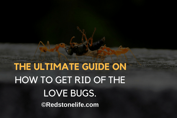 How To Get Rid Of Love Bugs – (The Ultimate Guide)